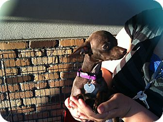 Chihuahua Puppy for adoption in North Hollywood, California - Snickers