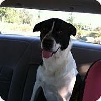 Adopt A Pet :: Browser,amazing family dog - Sacramento, CA