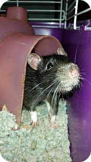 Rat for adoption in Winchester, Virginia - Ace