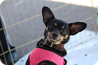 Chihuahua Mix Dog for adoption in Henderson, Nevada - Dutchess