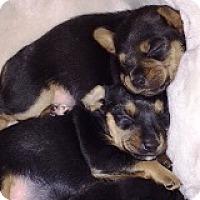 Adopt A Pet :: Primadonna Padawan - Houston, TX