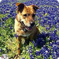 Adopt A Pet :: Sasha - Austin, TX