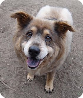 Australian Shepherd Mix Dog for adoption in Seal Beach, California - Estella
