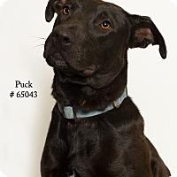 Adopt A Pet :: Puck - Baton Rouge, LA