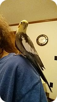 Cockatiel for adoption in Schenectady, New York - Gangel