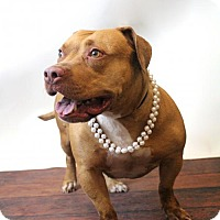 Adopt A Pet :: Aphrodite-Diamond Dog $75 Adoption Fee - Rockwall, TX