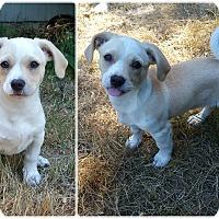 Adopt A Pet :: Cedar - Kirkland, WA