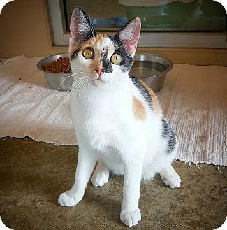 Calico Cat for adoption in Fredericksburg, Texas - Pig