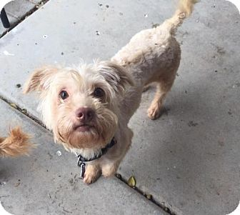 Shih Tzu/Lhasa Apso Mix Dog for adoption in Phoenix, Arizona - Monica