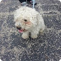Bichon Frise Dog for adoption in Tulsa, Oklahoma - Adopted!!Chowder - IL