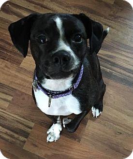 Boston Terrier/Springer Spaniel Mix Dog for adoption in Fargo, North Dakota - Jezebel