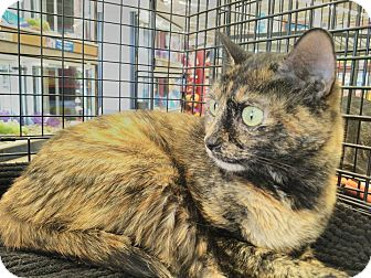 Calico Cat for adoption in Stafford, Virginia - Sapphire