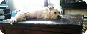 Cairn Terrier Mix Dog for adoption in Frederick, Maryland - Zoe Hart