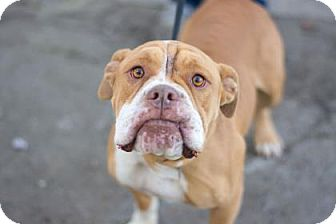 Bulldog Mix Dog for adoption in Fresno CA, California - Chunk