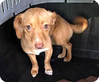 Dachshund Mix Dog for adoption in Conesus, New York - China