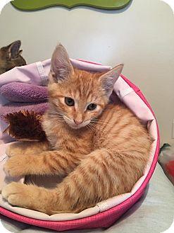 Domestic Shorthair Kitten for adoption in Clarkson, Kentucky - Sweetie