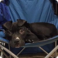 Adopt A Pet :: Tyrion - Trenton, NJ