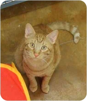Domestic Shorthair Cat for adoption in Lake Charles, Louisiana - Cyril