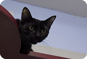 Domestic Shorthair Cat for adoption in Chicago, Illinois - Cieran