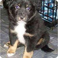 Adopt A Pet :: Rolo - Richmond, VA