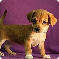Adopt A Pet :: Chardonnay - Broomfield, CO