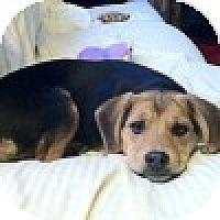 Adopt A Pet :: Buttercup - Novi, MI