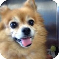 Adopt A Pet :: Angel - Adorable Pommie Girl! - Quentin, PA