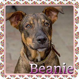 Kenmore, NY - German Shepherd Dog/Dachshund Mix. Meet ...