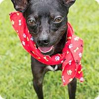 Adopt A Pet :: Oreo - Wilmington, NC