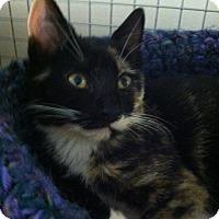 Adopt A Pet :: Pebbles - Trevose, PA