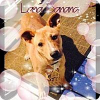 Adopt A Pet :: Lana - Lebanon, CT