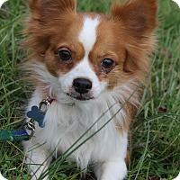 Adopt A Pet :: Lola ADOPTION PENDING - Waldorf, MD