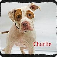 Adopt A Pet :: Charlie - Old Saybrook, CT