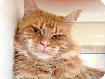 Domestic Mediumhair Cat for adoption in San Diego, California - LESTER