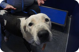 Hound (Unknown Type)/Pit Bull Terrier Mix Dog for adoption in Henderson, North Carolina - Gracie