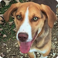 Beagle/Australian Shepherd Mix Dog for adoption in Cincinnati, Ohio - Macy