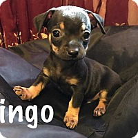 Adopt A Pet :: Bingo - San Angelo, TX