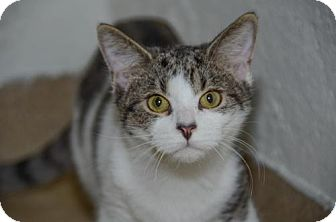 Domestic Shorthair Kitten for adoption in Brick, New Jersey - Oscar