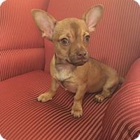 Chihuahua Mix Puppy for adoption in Rockford, Illinois - Gus Gus