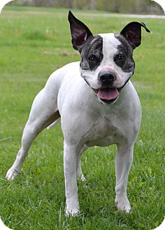 American Pit Bull Terrier/American Staffordshire Terrier Mix Dog for adoption in Michigan City, Indiana - Judd