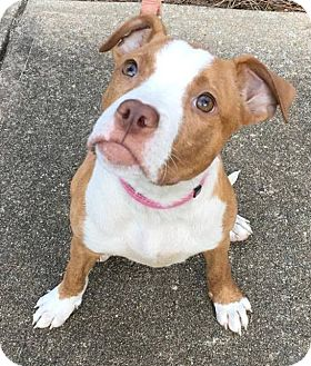 American Bulldog/Pit Bull Terrier Mix Puppy for adoption in West Springfield, Massachusetts - Callie