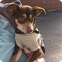 Adopt A Pet :: Cocoa Puff - Poughkeepsie, NY