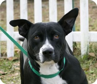 Pit Bull Terrier Mix Dog for adoption in Gainesville, Florida - Mallory