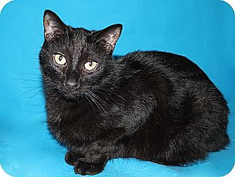 Domestic Shorthair Cat for adoption in Laingsburg, Michigan - POE
