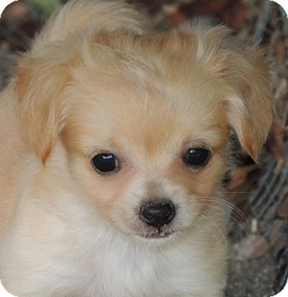Pomeranian pitbull mix - photo#49