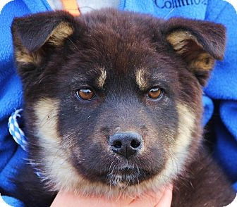diesel adopted puppy stamford ct akitagerman