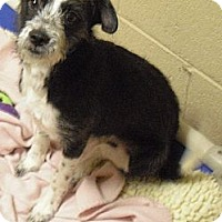 Adopt A Pet :: Carley - Wickenburg, AZ