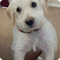 Adopt A Pet :: Scruffy - Phoenix, AZ