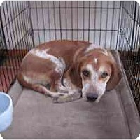 Adopt A Pet :: Molly Beagle - Albuquerque, NM