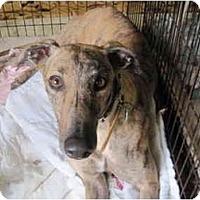 Adopt A Pet :: Lady (MRL Race Lady) - Chagrin Falls, OH